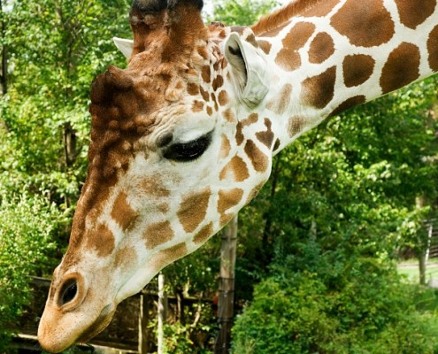 giraffe adopt
