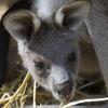 kangaroo joey 100x100px