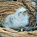 Tawny frogmouth chick 150x150px