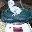 Tawny frogmouth chick on scale