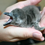 penguin chick 150 x 150 px