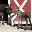 Donkey foal1