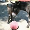 donkey foal2