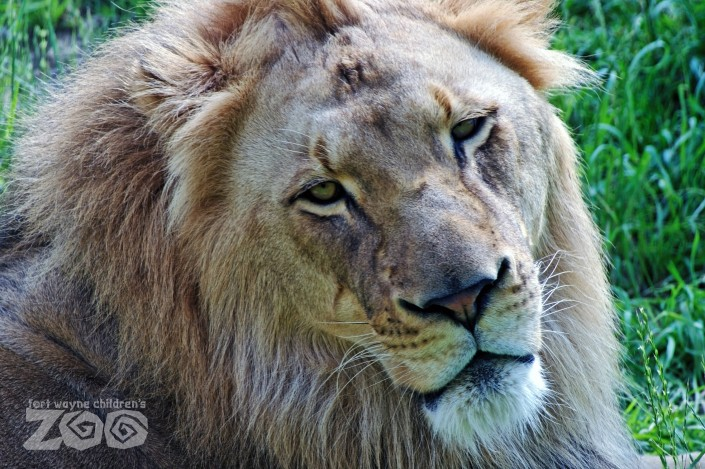lion fort wayne zoo