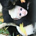colobus baby 150x150px