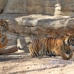 Born at the Cameron Park Zoo in Waco, Texas, Indah and Bugara are one and a half years old.