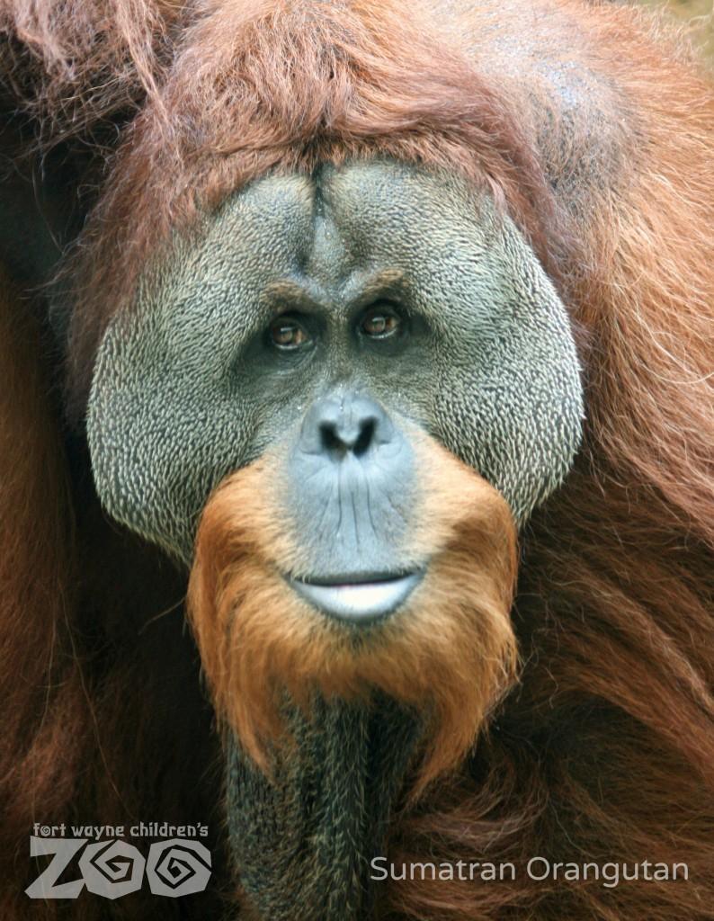 Orangutan 50th Birthday Fort Wayne Children's ...