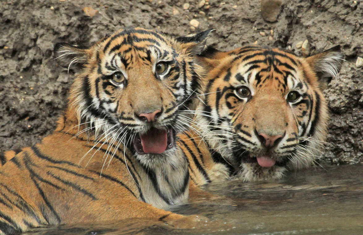 extinction of tigers The world's last remaining tigers are living under severe threat of extinction,  having lost 93 percent of their historical range and suffered a.