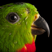 Joel Sartore blue crowned hanging parrot 107 x 107px