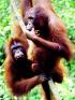 wild orangutans on vine