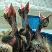 magpie chicks 107x107px