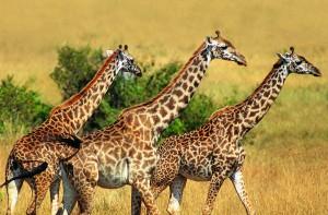 wild giraffe herd
