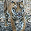Sumatran tigers Indah and Bugara explored Tiger Forest for first time today