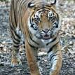 Bugara sumatran tiger wakling