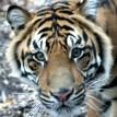 Bugara sumatran tiger