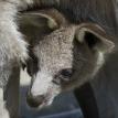 kangaroo joey with mother in Australian Adventure