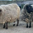 sheep before shearing