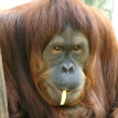 Tara the orangutan