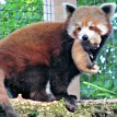 red panda carrying cub
