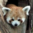 red panda in log