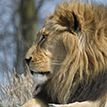 Africa Lion Featured Image