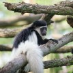 baby colobus monkey on nranch