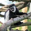 baby colobus monkey on branch
