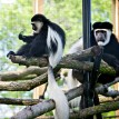two colobus monkeys