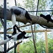 baby colobus monkey at play