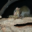 tree shrew with snake skin