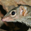 Tree Shrew Featured