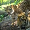 tigers fort wayne children's