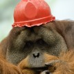orangutan Tengku wearing hard hat