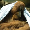 orangutan with a blanket on her head.