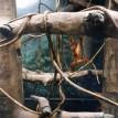 orangutan climbing on vines