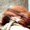 orangutan sleeping on branch