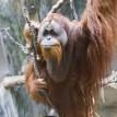 Tengku orangutan climbing on vines