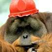 Tengku orangutan wearing hard hat