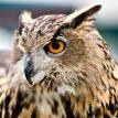Eurasian eagle owl 107x107px