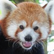 Junjie red panda