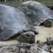 Tortoises in mud puddle