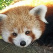 zoo attraction red panda