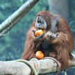 orangutan and pumpkins