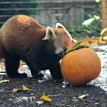 Red panda Xiao's pumpkin was stuffed full of bamboo and grapes.