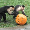 The capuchin monkeys looked for treats inside their jack-o-lantern.