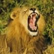 lion (2) 1000mps