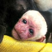 colobus baby zoo attraction