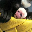 colobus monkey baby zoo attraction