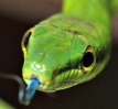 red-tailed green ratsnake zoo attraction
