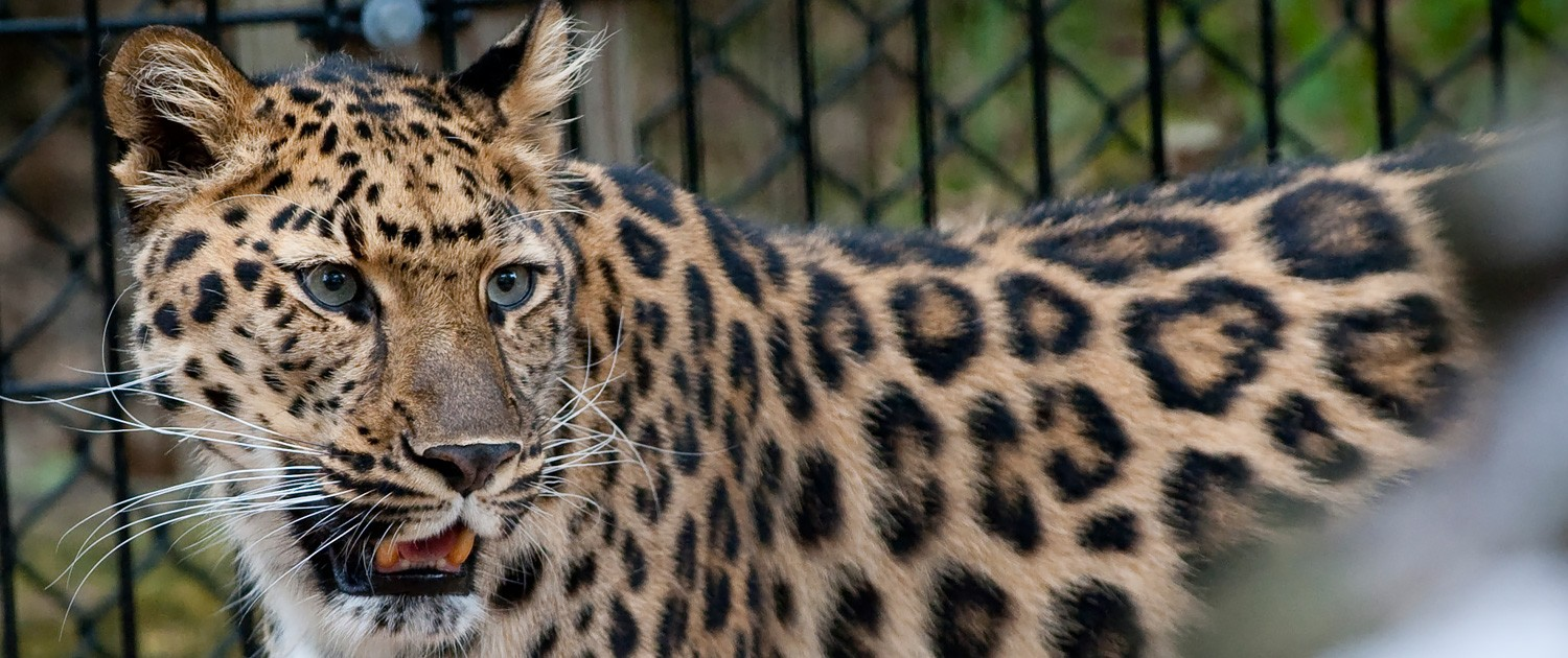 leopard|fort wayne children's zoo